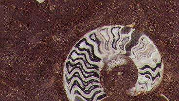 Grande Fossile Marble